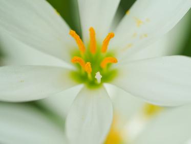 白い可憐な花タマスダレ