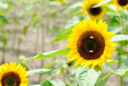 綺麗な向日葵の密を吸う二匹のミツバチ