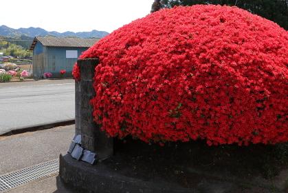塀を覆いつくす小さく真っ赤なツツジの花