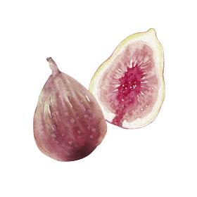 イチジク 秋 果物 フルーツ 水彩 イラスト