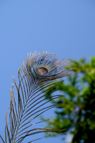 森の前にある孔雀の羽