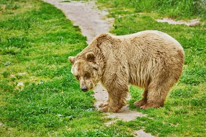 Brown Bear on Grass