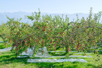 信州のリンゴの農園 果樹園