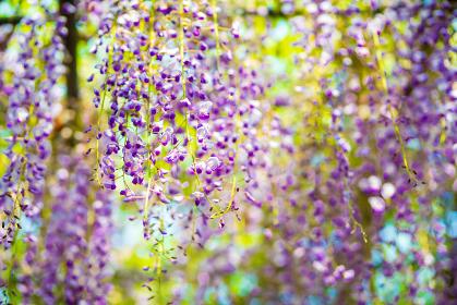 爽やかな香りを放つ満開の藤の花