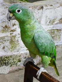 色鮮やかな緑色のオウムがこちらを見つめる可愛らしい姿