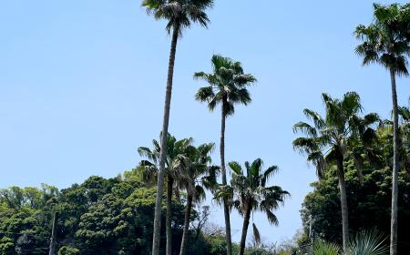 夏をイメージさせるヤシの木