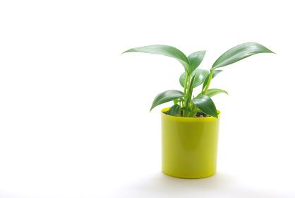 白バックに鉢植えのフィロデンドロン