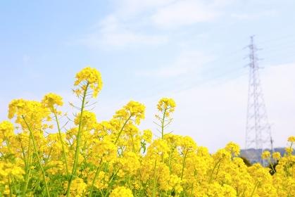 菜の花と青空と高圧電線鉄塔