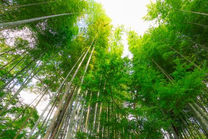下から見上げた緑のもみじと竹林の小径