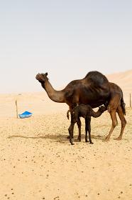 free  dromedary near the sky in oman  empty quarter of desert