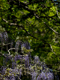 満開の藤の花 4月