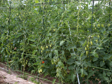 ミニトマト畑