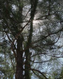円山原始林の大木(北海道札幌市)