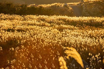 夕焼けの光に映える美しいススキ(福岡県北九州市)