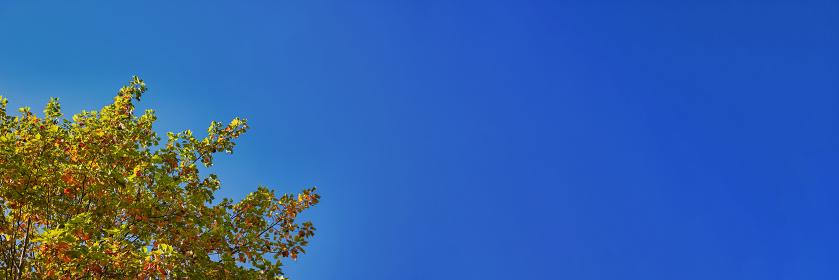 紅葉し始めたユリノキの枝葉と青空 横長