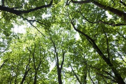 霧島のブナ林