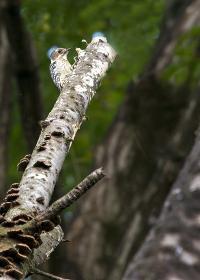 日本で最小のキツツキ コゲラ
