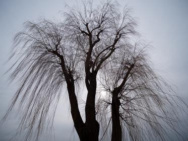 冬の柳の木