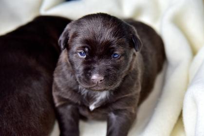 ラブラドールレトリバーの仔犬