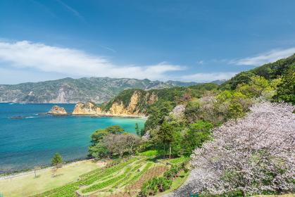 満開の桜と青空広がる西伊豆黄金崎の風景 3月