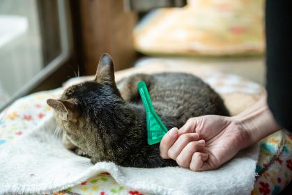 ペットのきじ猫にノミ薬を付ける