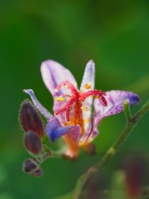 カラフルな小さな花ホトトギス