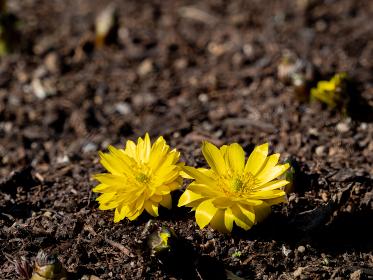大地から咲く福寿草 2月