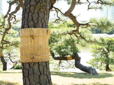 菰を巻かれた松と、秋晴れの青空広がる東京の浜離宮庭園の風景 10月