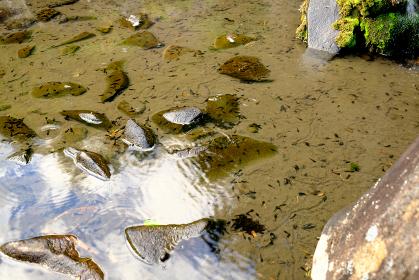 池の中にたくさんいるオタマジャクシ