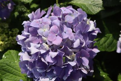 六月の季節 梅雨の花 アップ満開の青紫の紫陽花