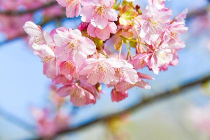 青空に映える河津桜