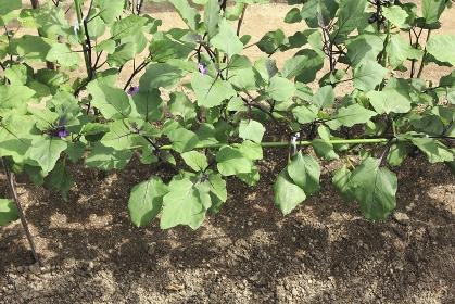家庭菜園の農作物