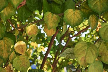 葉の内側から黄葉しはじめた木の葉
