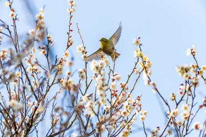 青空に映える梅の花とメジロ