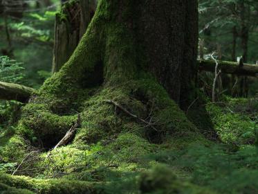 長野県白駒池の苔の森 秋 倒木と苔