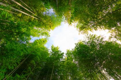 下から見上げた竹林の小径