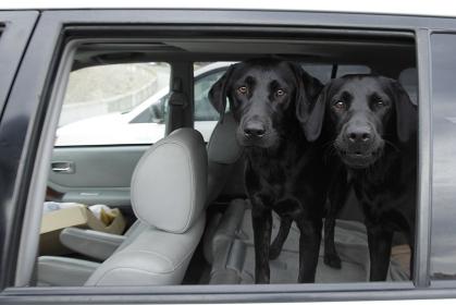 車内から見ている双子の黒ラブ