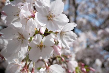 アップの桜の花