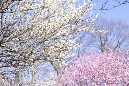 紅白の梅の花 紅梅と白梅