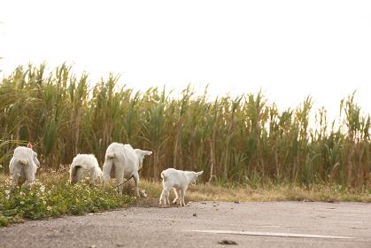 日本の最南端、沖縄県波照間島の子ヤギ