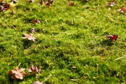 兼六園のヤマトフデゴケに落ち葉
