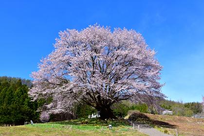 群馬県片品村の天王桜