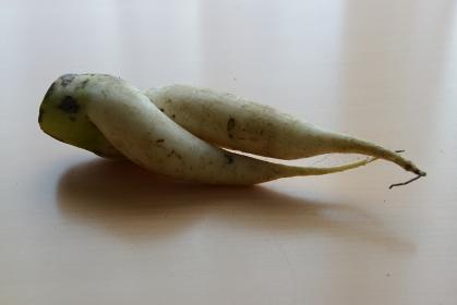 ねじれた足のような面白い形の大根