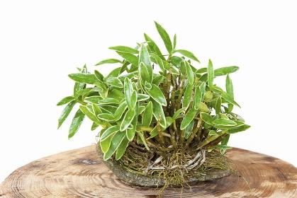 セキコクの鉢植え盆栽