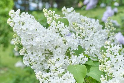 ライラックの花・アロイス