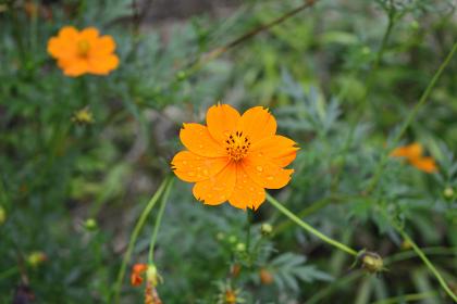 キバナコスモス(オレンジ色のコスモス)