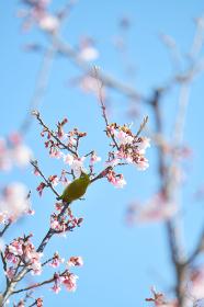メジロと寒桜)日立紅寒桜)