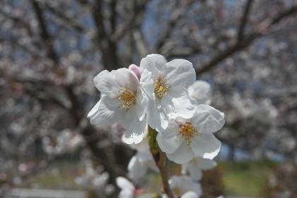 幹の枝振りを背景に咲く桜アップ