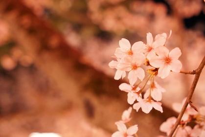 満開の夜桜 ライトアップ