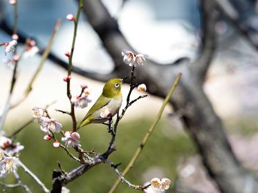 梅の木に止まるメジロ